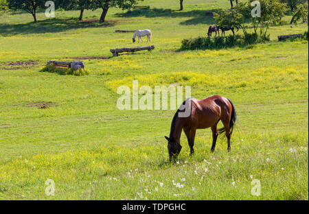 Grazing horses in a field at an equestrian center in springtime - Stock Photo