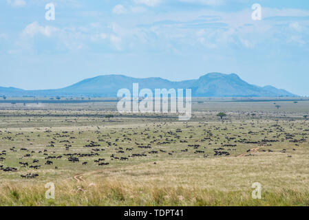 Large herd of Wildebeest (Connochaetes taurinus) spread across the plains in Serengeti National Park; Tanzania - Stock Photo