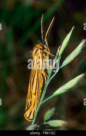 feathered footman (Spiris striata, Coscinia striata), sitting a a grass, Germany - Stock Photo