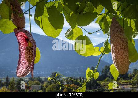 birthwort (Aristolochia brasiliensis, Aristolochia labiata), flowers, Italy, South Tyrol, Meran - Stock Photo