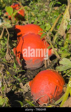 Hokkaido, Hokkaido squash, Red kuri squash (Cucurbita maxima), Red kuri squash on a field, Germany - Stock Photo