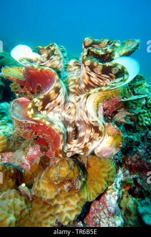 giant clam (Tridacna sp.), at the coral reef, Philippines, Southern Leyte, Panaon Island, Pintuyan - Stock Photo