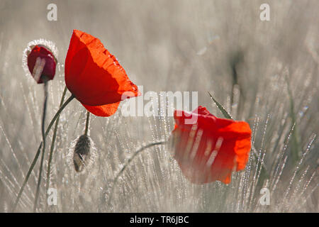 Common poppy, Corn poppy, Red poppy (Papaver rhoeas), poppy flowers in a field with morning dew, Germany, Bavaria - Stock Photo