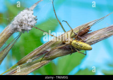 long-jawed spider (Tetragnatha extensa), sitting in front the coccon, Germany, Bavaria, Niederbayern, Lower Bavaria - Stock Photo