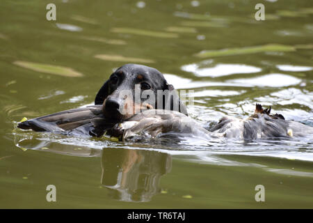 Short-haired Dachshund, Short-haired sausage dog, domestic dog (Canis lupus f. familiaris), swimming and retrieving a duck, Germany - Stock Photo