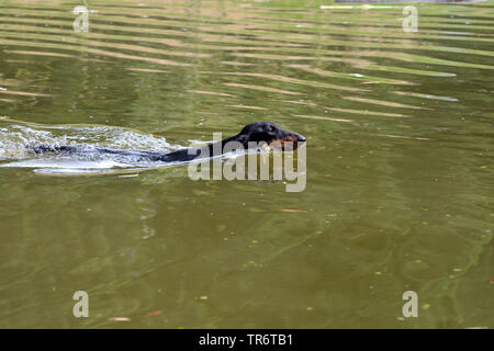 Short-haired Dachshund, Short-haired sausage dog, domestic dog (Canis lupus f. familiaris), swimming in a lake, Germany - Stock Photo