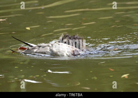 Wire-haired Dachshund, Wire-haired sausage dog, domestic dog (Canis lupus f. familiaris), swimming and retrieving a duck, Germany - Stock Photo