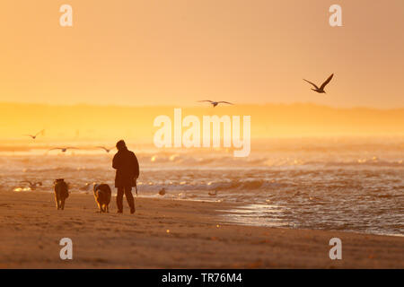 walker with dog along the shore, on the beach in golden light of sunset, Netherlands, Frisia, Ameland - Stock Photo