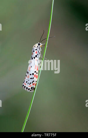 Prachtbeer, Crimson Speckled, Utetheisa pulchella (Utetheisa pulchella), Turkey - Stock Photo