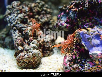 Hinge beak shrimp dancing on the rocks or camel shrimp / Rhynchocinetes durbanensis - Stock Photo
