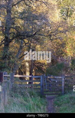Wooden Gate along a Path through Autumn Silver Birch Forest. Muir of Dinnet NNR, Cairngorms, Scotland, UK. - Stock Photo