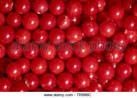 Red Coral (Corallium rubrum), coveted for jewellery, Marseillie, South France, France - Stock Photo