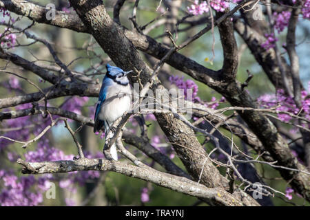 This bluejay has a rather inquisitive look on its face as it perches on a branch of a blooming redbud tree in Missouri. Bokeh effect. - Stock Photo