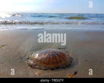 compass jellyfish, red-banded jellyfish (Chrysaora hysoscella), washed up on the beach, Netherlands - Stock Photo