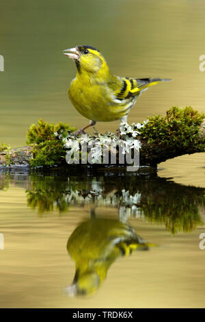 spruce siskin (Carduelis spinus), drinking male perches on a branch in shallow water , Netherlands - Stock Photo
