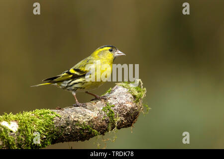 spruce siskin (Carduelis spinus), male perching on a mossy branch, Netherlands - Stock Photo