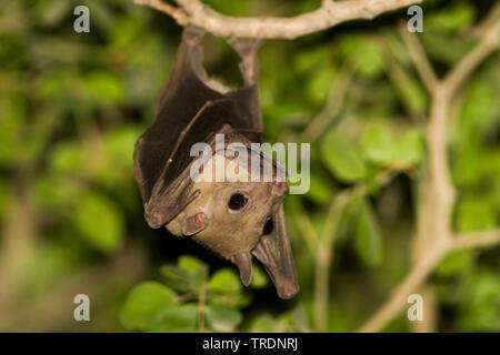 Egyptian rousette, Egyptian Fruit Bat (Rousettus aegyptiacus, Rousettus aegypticus), hanging at a branch, Oman - Stock Photo