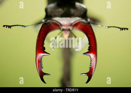 stag beetle, European stag beetle (Lucanus cervus), Stag beetle closeup of the mandibels, Hungary - Stock Photo