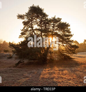 Common juniper, Ground juniper (Juniperus communis), Westrup Heath at sunrise in autumn, Germany, North Rhine-Westphalia, Ruhr Area, Haltern - Stock Photo
