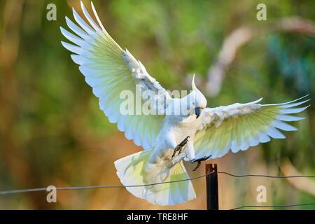 sulphur-crested cockatoo (Cacatua galerita), in flight, Australia, Victoria, Dandenong Ranges National Park - Stock Photo