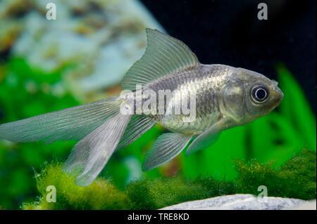 goldfish, common carp (Carassius auratus Oranda), breed Oranda - Stock Photo