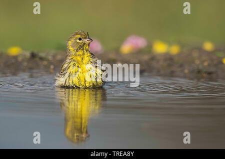 European serin (Serinus serinus), bathing, Italy, Aosta - Stock Photo