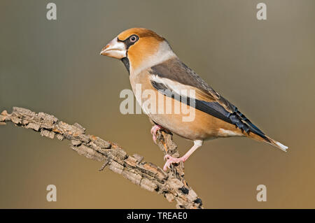 hawfinch (Coccothraustes coccothraustes), male perched on a branch, Italy - Stock Photo