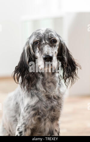 English Setter. Portrait of adult dog in a room Germany - Stock Photo