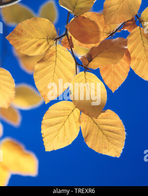 European Beech, Common Beech (Fagus sylvatica). Leaves in autumn colors in backlight. Germany - Stock Photo