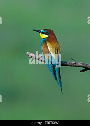 Adult European bee-eater perched - Stock Photo