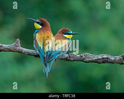 Pair of adult European bee-eater perched - Stock Photo