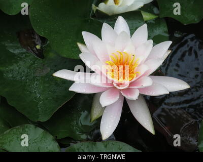 Close-up of a water lily in full bloom; pale pink petals with a vivid yellow centre, surrounded by the large floating leaves - Stock Photo