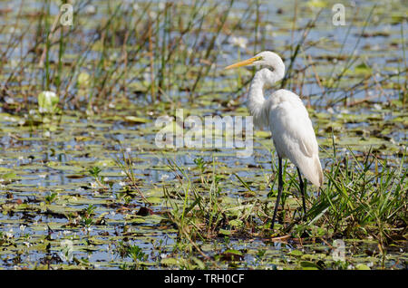 Intermediate egret in Yellow Water billabong, Kakadu, Northern Territory, Australia. - Stock Photo
