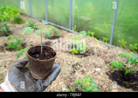 Male farmer holding organic pot with tomato plant before planting in into the soil. Man prepares to plant little tomato plant into ground - Stock Photo