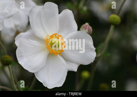 Close up of a Japanese thimbleweed (anemone hupehensis flower in bloom - Stock Photo
