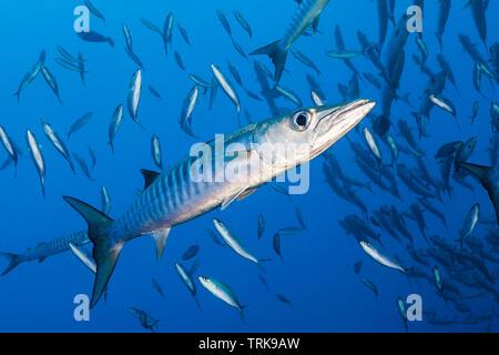 Blackfin Barracuda, Sphyraena qenie, Lissenung, New Ireland, Papua New Guinea - Stock Photo