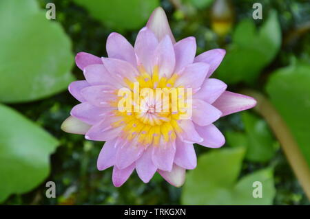 lotus lily water flower blooming in garden - Stock Photo