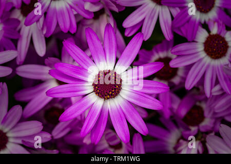 Display of Senetti Pericallis in a Warrington garden - Stock Photo