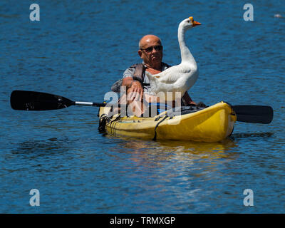 A man is kayaking in Lake Balboa Los Angeles, California with a domestic Swan Goose in his kayak - Stock Photo