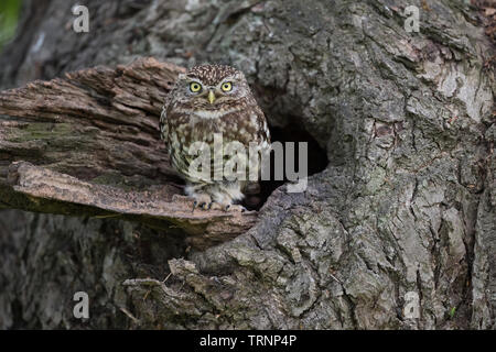 Little Owl (Athene noctua) at nest site in a tree - Stock Photo