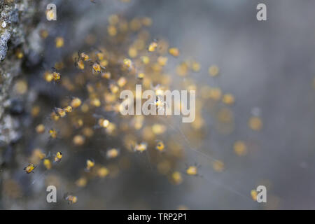 Hundreds of tiny baby spiders in a ball on a spiders web on a concrete step in the garden. - Stock Photo