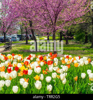 Red white and yellow flowering tulips and eastern redbud trees in spring in Forest Park St Louis Missouri USA. - Stock Photo