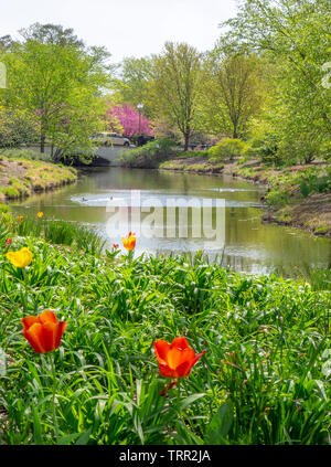 Garden of red and yellow tulips growing on the banks of River des Peres in Forest Park St Louis Missouri USA. - Stock Photo