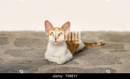 Cute ginger and white bicolor cat kitten lying on a stone floor and watching curiously with wide orange colored eyes, Cyclades, Aegean island, Greece - Stock Photo