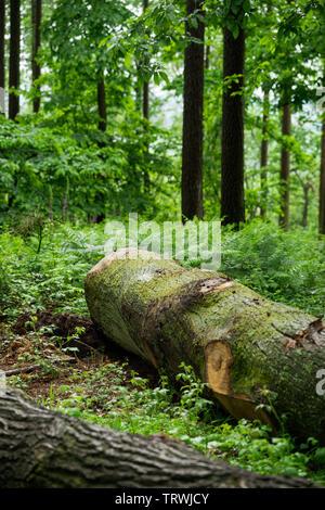 Fallen Tree in British Woodland - Stock Photo