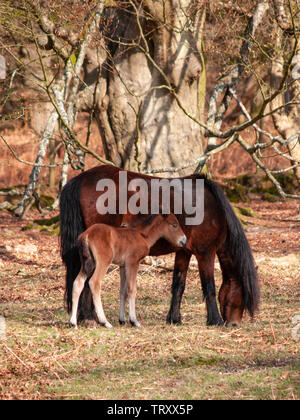 A wild Dartmoor pony and her foal graze on the moors. - Stock Photo