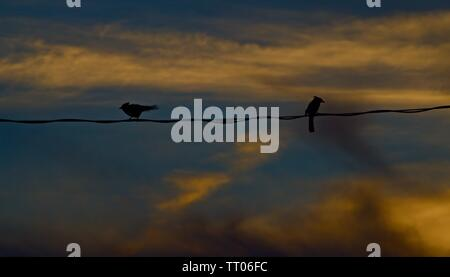Blue Jay Pair sitting on Power Line in the Sunset, Canyon, Texas. - Stock Photo