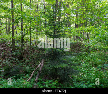 Forest landscape. Young ir tree to deciduous wood. - Stock Photo