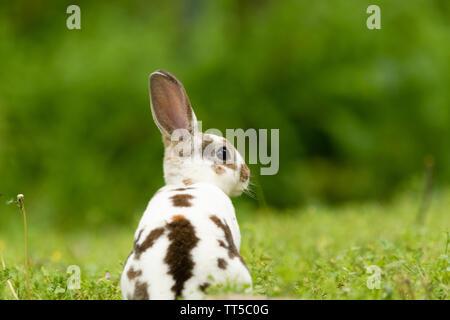 A cute Mini Rex sits in the grass in Teresita, Oklahoma 2019 - Stock Photo