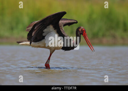 Black stork (Ciconia nigra) photographed in Hortobagy NP, Hungary - Stock Photo